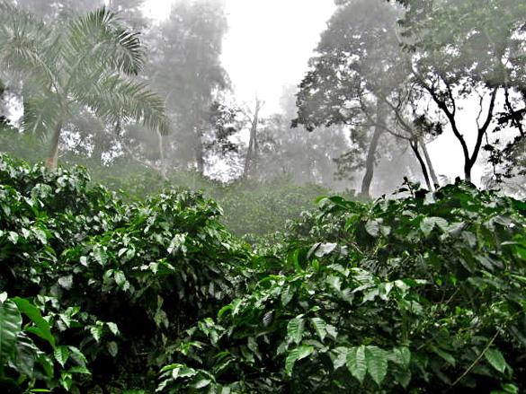 Plantación de café típico